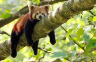 7.8 million rupees allocated to conserve endangered Red Panda